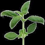 Basilikum, grøn